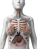 Kvinnlig anatomi vektor illustrationer