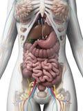 Kvinnlig anatomi stock illustrationer