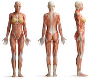 Kvinnlig anatomi Royaltyfri Fotografi