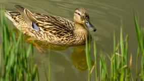 Kvinnlig andsimning i dammet in mot den gräs- banken Royaltyfria Foton