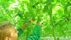 Kvinnlig arbetare i växthus arkivfilmer