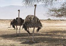 Kvinnlig av den afrikanska strutsen (Struthiocamelusen) Royaltyfri Fotografi