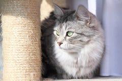 Kvinnlig av den siberian katten Fotografering för Bildbyråer