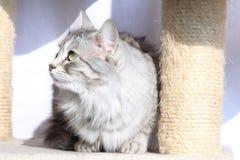 Kvinnlig av den siberian katten Arkivbilder