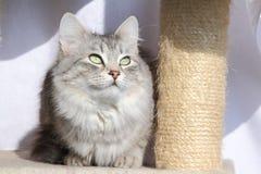 Kvinnlig av den siberian katten Royaltyfria Bilder