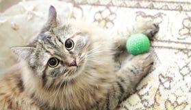 Kvinnlig av den siberian katten Royaltyfria Foton