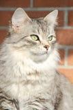 Kvinnlig av den siberian katten, detalj Arkivfoto