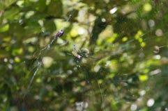 Kvinnlig av en guld- siden- orb-vävare spindel, Nephila clavata på den royaltyfria foton