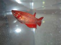 Kvinnlig betafisk Arkivfoto