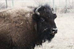 Kvinnlig bison arkivbilder