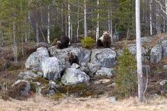 Kvinnlig björn med gröngölingar Royaltyfri Foto