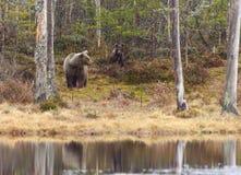 Kvinnlig björn med gröngölingen Arkivfoto