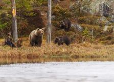 Kvinnlig björn med gröngölingen Arkivfoton