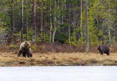 Kvinnlig björn med gröngölingen Arkivbilder