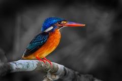 Kvinnlig Blått-gå i ax kungsfiskare Fotografering för Bildbyråer