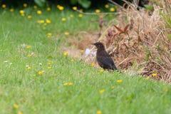 Kvinnlig blackbird Royaltyfri Fotografi