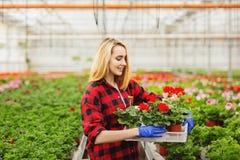 Kvinnlig blomsterhandlareinnehavblomkruka i v?xthus Begrepp av gardering royaltyfria bilder
