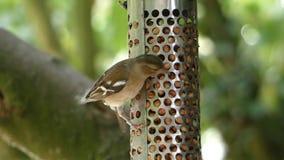Kvinnlig bofink, Fringillacoelebs, video på en jordnötförlagematare i England, UK - HD-video stock video