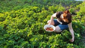 Kvinnlig bonde som väljer jordgubbar på grönt fält på solnedgången arkivfilmer