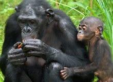 Kvinnlig bonobo med en behandla som ett barn congo demokratisk republik Lola Ya BONOBOnationalpark arkivbilder