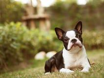 Kvinnlig Boston Terrier i trädgård Royaltyfri Bild