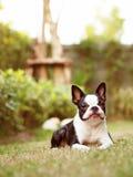 Kvinnlig Boston Terrier i trädgård Arkivbilder