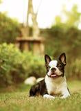 Kvinnlig Boston Terrier i trädgård Arkivfoton
