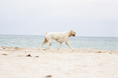 Kvinnlig boxarehund på stranden fotografering för bildbyråer