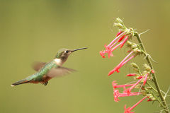 kvinnlig Bred-tailed hummingbird Fotografering för Bildbyråer