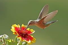 kvinnlig Bred-tailed hummingbird royaltyfri bild