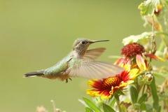 kvinnlig Bred-tailed hummingbird (den Selasphorus platycercusen) Royaltyfri Bild