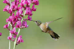 kvinnlig Bred-tailed hummingbird (den Selasphorus platycercusen) Royaltyfri Fotografi