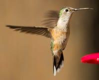 Kvinnlig bred-tailed kolibri arkivbild