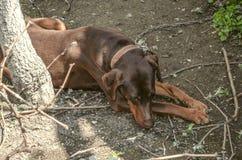 Kvinnlig brun Doberman med långa öron som resentfully ligger på en koppel nära stammen av ett träd som är bortvänd arkivfoton