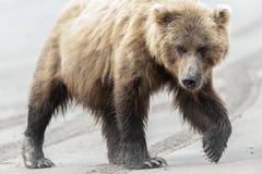 Kvinnlig brunbjörn som går på stranden Arkivfoto