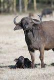 Kvinnlig buffel med en kalv i den afrikanska savannahen Royaltyfri Bild