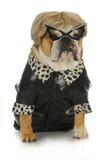 Kvinnlig bulldogg Royaltyfria Foton