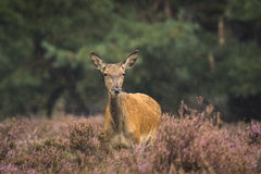Kvinnlig Cervuselaphus för röda hjortar fotografering för bildbyråer