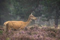 Kvinnlig Cervuselaphus för röda hjortar Royaltyfri Fotografi