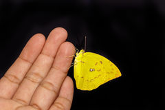 Kvinnlig citronutvandrarefjäril Arkivfoto