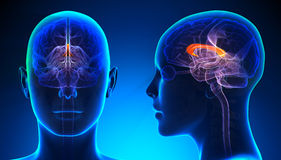 Kvinnlig corpus Callosum Brain Anatomy - blått begrepp vektor illustrationer