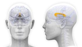 Kvinnlig corpus Callosum Brain Anatomy - som isoleras på vit royaltyfri illustrationer