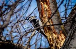 Kvinnlig dunig hackspett på lönnträd för gammal tillväxt med bakgrund för blå himmel Royaltyfri Fotografi