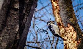 Kvinnlig dunig hackspett på lönnträd för gammal tillväxt med bakgrund för blå himmel Royaltyfri Foto