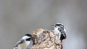 Kvinnlig dunig hackspett (Picoidespubescens) på en trädstubbe stock video