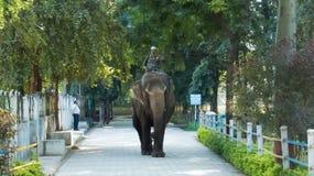 Kvinnlig elefant för mahout-/Mahawat ridning på den Indore zoo, Indien royaltyfri fotografi