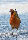 Kvinnlig fågel för röd djungel royaltyfri foto