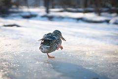 Kvinnlig and för ensam klumpig gräsand som går på is i ett vintersolnedgångljus royaltyfria foton