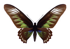 Kvinnlig för fjärilsTrogonoptera brookiana Royaltyfri Foto