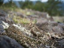 Kvinnlig för Grashopper chorthippusbiguttulus Arkivfoto